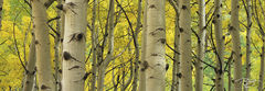Colorado, aspen, autumn, fallen leaves, yellow leaves, golden canopy, autumn peak, leaves at their peak