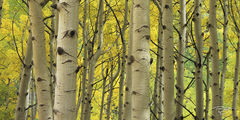 Colorado, aspen, autumn, fallen leaves, yellow leaves, golden canopy, aumtumn peak, leaves at their peak
