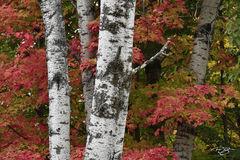 Birch & Maples - landscape orientation