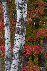 Birch & Maples - portrait orientation