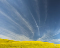 Canola, farm, sky, blue sky, palouse, farmland, field of gold, stratus clouds, wispy, horestail, clouds, canola in bloom