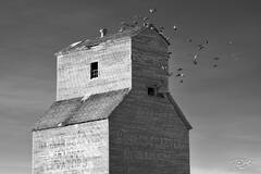 alberta, grain elevator, shonts, killearn farms, pigeons, birds, dirty shorts, black and white; monochrome