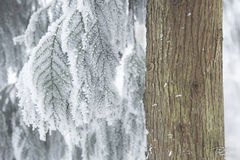 dawn redwood, frost, frosty, snow, winter, wintry, sage, green, tree, ice, icy, wulingyuan, zhangjiajie, china, frosted redwood