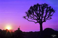 Kokerboom Sunset