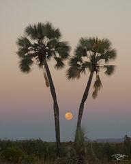 namibia, palmwag, palm trees, silhouette, sunset, twilight, predawn, namib desert, southwest africa, full moon, moon, pastel