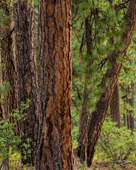 trees; forest; pines; evergreens; ponderosa pine; ponderosas bark; green; red; brown; earth tone; idaho; arizona; colorado