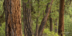 trees, forest, pines, evergreens, ponderosa pine, ponderosas bark, green, red, brown, earth tone, idaho, arizona, colorado, pano, panorama