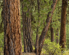 trees, forest, pines, evergreens, ponderosa pine, ponderosas bark, green, red, brown, earth tone, idaho, arizona, colorado