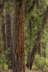 trees; forest; pines; evergreens; ponderosa pine; ponderosas bark; green; red; brown; earth tone; idaho; arizona; colorado