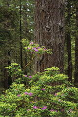 redwoods national park, redwoods state park, jedediah smith redwoods state park, del norte coast redwoods state park, prairie creek redwoods state park, rhododendron, blooming, in bloom, dawn redwood,