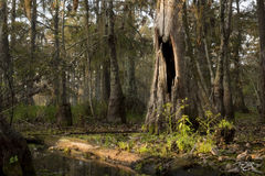 swamp, bayou, louisiana, dawn, early morning, quiet, mordor, lord of the rings, bald cypress, tree, cypress, atchafalaya basin, lake martin, daybreak, morning, swamp thing, gators, swamp people