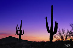 Arizona, saguaro, giant, cactus, thorns, sonoran desert, saguaro silhouettes, giant saguaro cactus, cactus silhouette, desert landscape, night, sunset, dusk, desert, southwest, prick, thorns