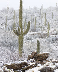 Arizona, Sonoran Desert, winter in the desert, winter, Saguaro Cactus, Sonoran Snowfall, snow in the desert, snow on cactus, snow on saguaro cactus, saguaro forest, falling snow, christmas in the dese