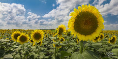 sunflower, sunflowers. field of sunflowers, panorama, north dakota, south dakota, clouds, yellow, blue, green, sunny side up