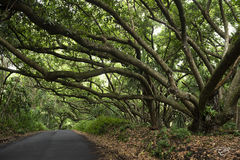 road, trail, passage, track, trees, tree lined canopy, tentacles, pathway, path, passing through, hawaii