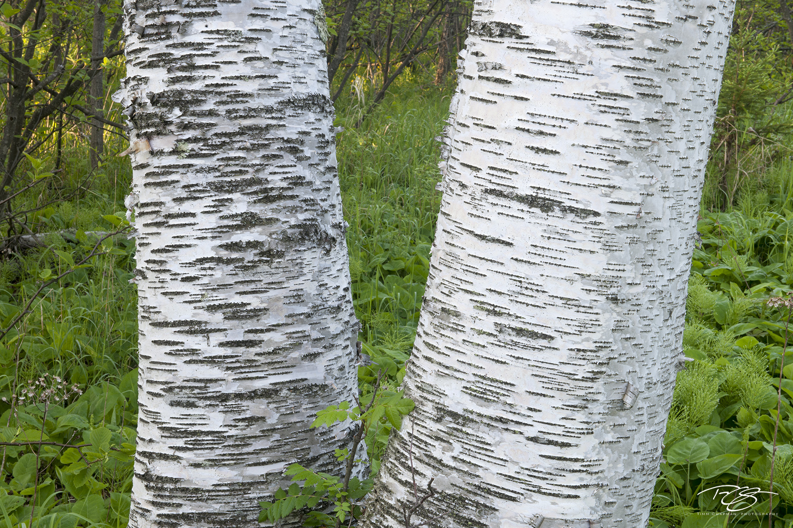 birch trees, birch, tree, trees, birches, birch forest, forest, bark, green, white, birch bark, minnesota, wisconsin, michigan, patterns, white birch, abstract, photo