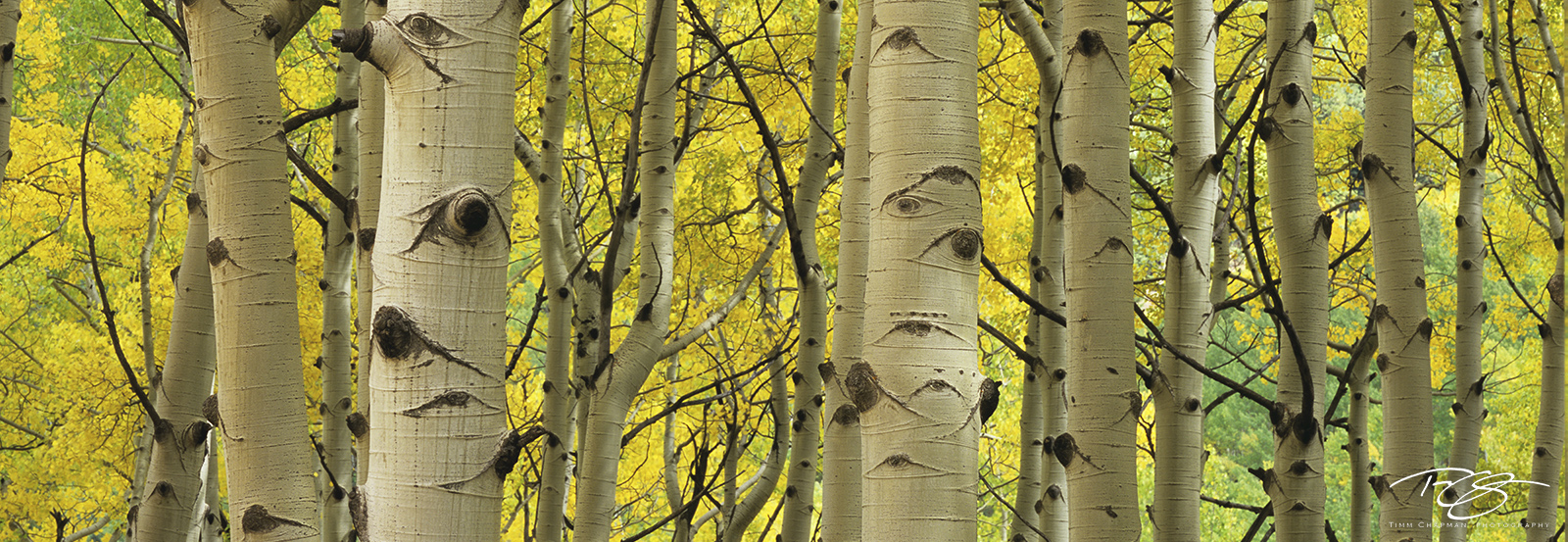 Colorado, aspen, autumn, fallen leaves, yellow leaves, golden canopy, autumn peak, leaves at their peak, photo