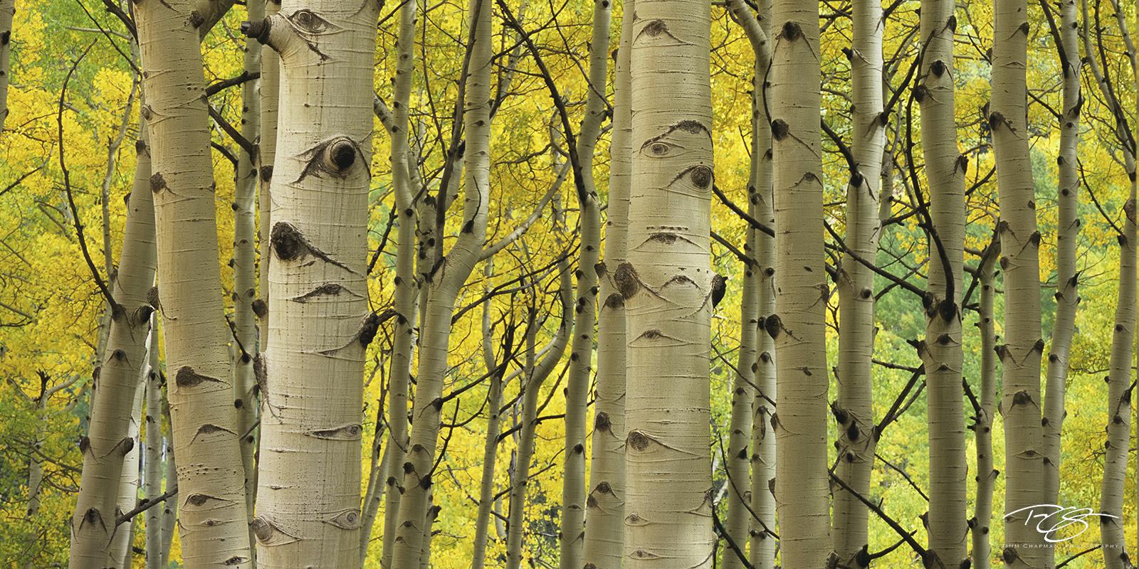 Colorado, aspen, autumn, fallen leaves, yellow leaves, golden canopy, aumtumn peak, leaves at their peak, photo