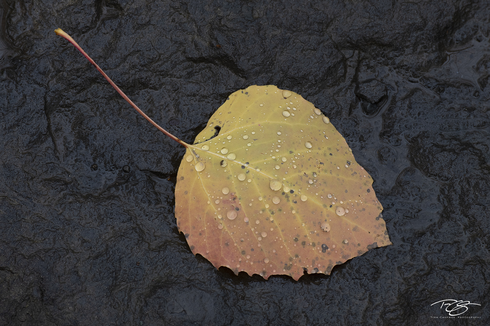 autumn, fall, colour, colours, color, colors, leaves, new england, baxter state park, maine, quaking aspen, aspen, leaf, water droplets, beading, black rock, wet, photo