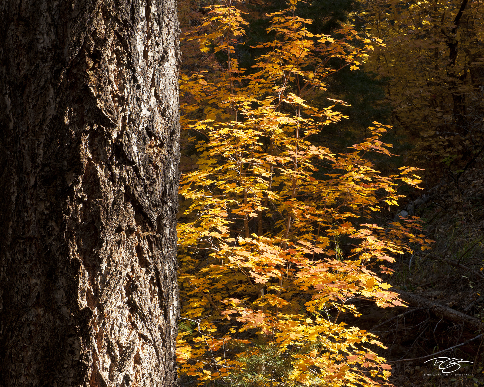 Arizona, Oak Creek canyon, West Fork, Call of the Canyon, northern arizona, moody light, orange, bigtooth maple, morning light, dramatic light, fall colours, autumn, fall colors, fall, colors, bark, photo