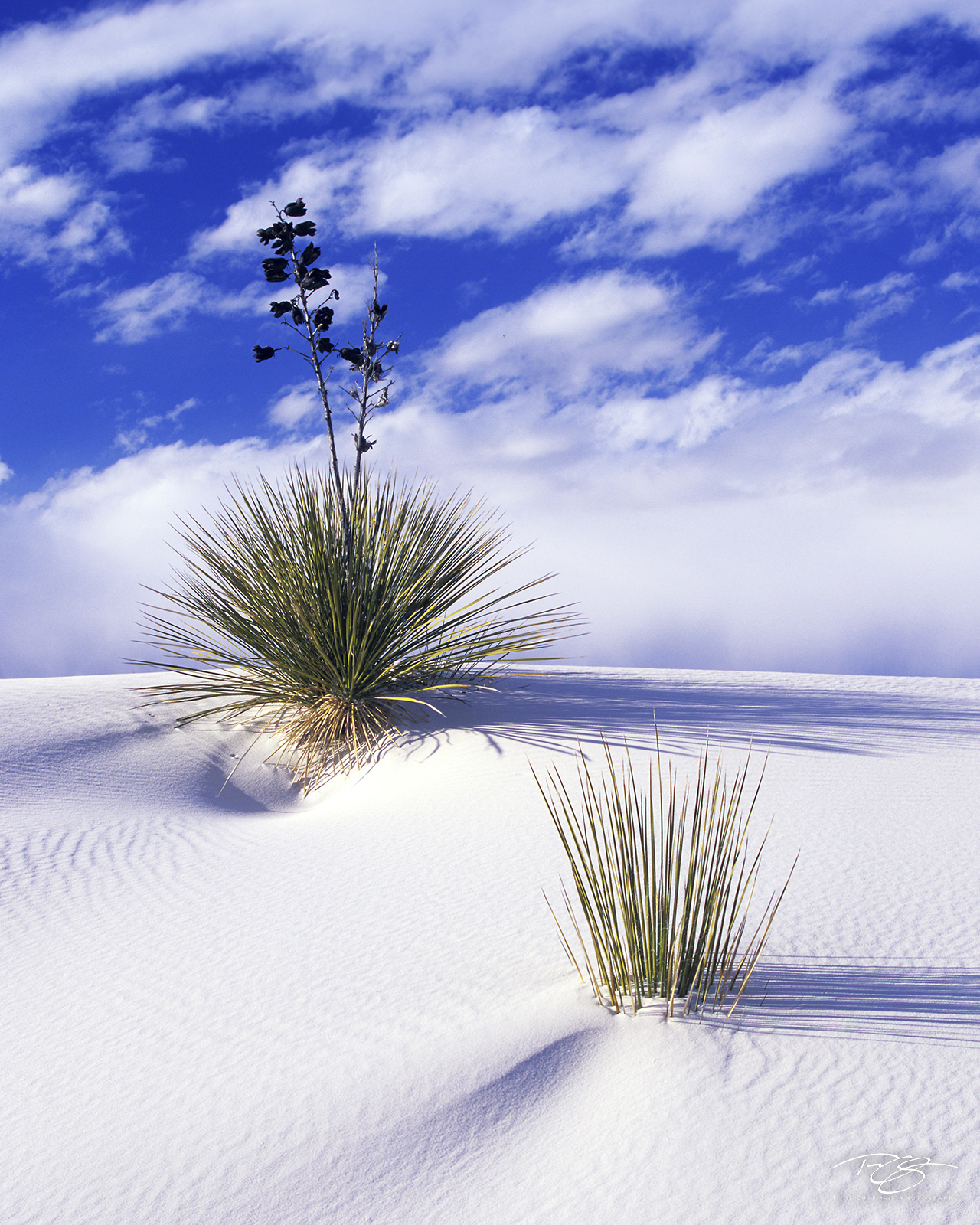 New Mexico, soaptree yucca, yuccas, white sands, white sands national monument, buried alive, snow, sand, white sand, sand dunes, gypsum, clouds, long shadows, struggle for survival, consumed, resilie, photo