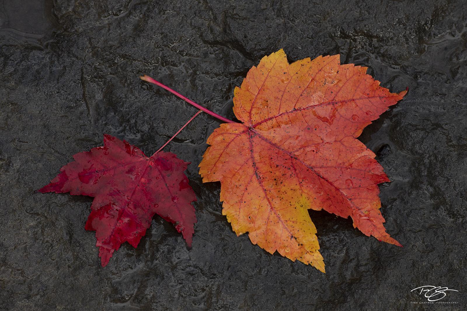 autumn, fall, colour, colours, color, colors, leaves, new england, baxter state park, maine, maple, sugar maple, leaf, red, orange, black rock, wet, photo