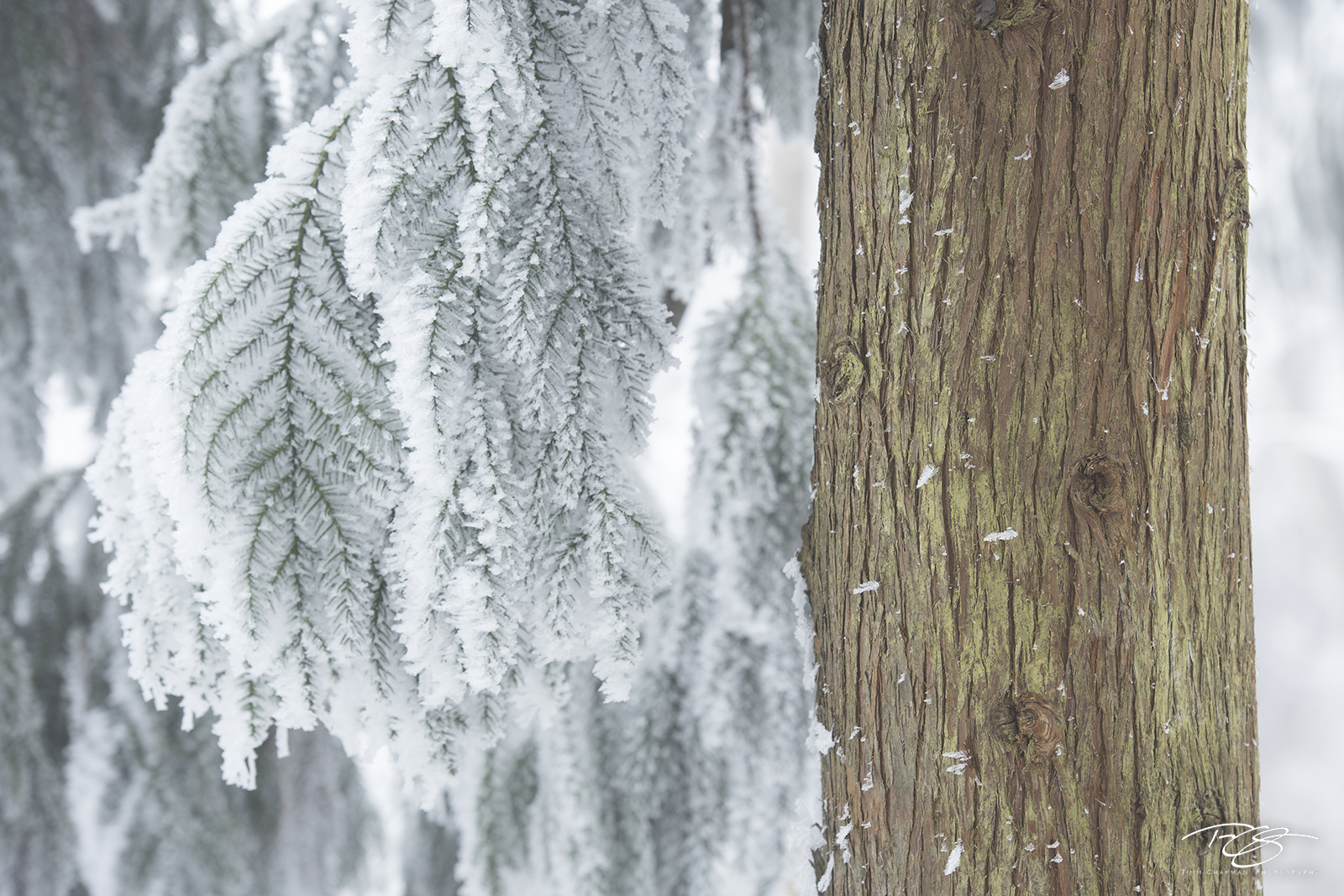dawn redwood, frost, frosty, snow, winter, wintry, sage, green, tree, ice, icy, wulingyuan, zhangjiajie, china, frosted redwood, photo
