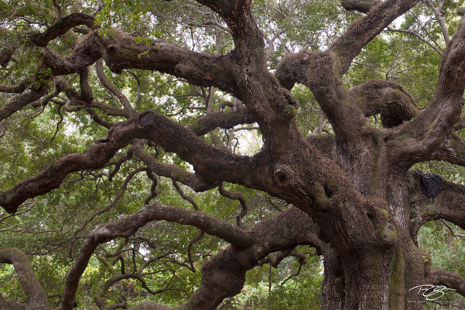 angel oak, live oak, braches, tree, oak tree, abstract, bark, massive, strength, photo