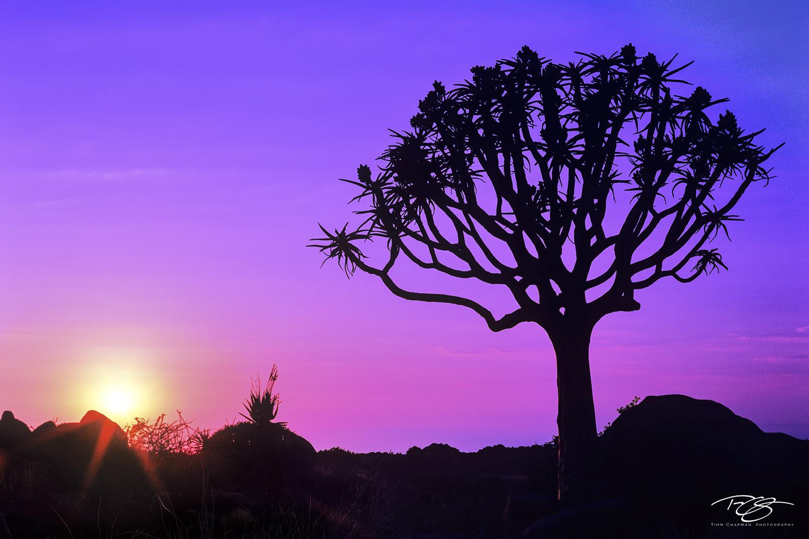 Namibia, kokerboom tree, kokerboom, quiver tree, kalahari desert, namib desert, silhouette, desert, bushman land, sunset, kokerboom, tree of knowledge, purple, blue, sunset, photo