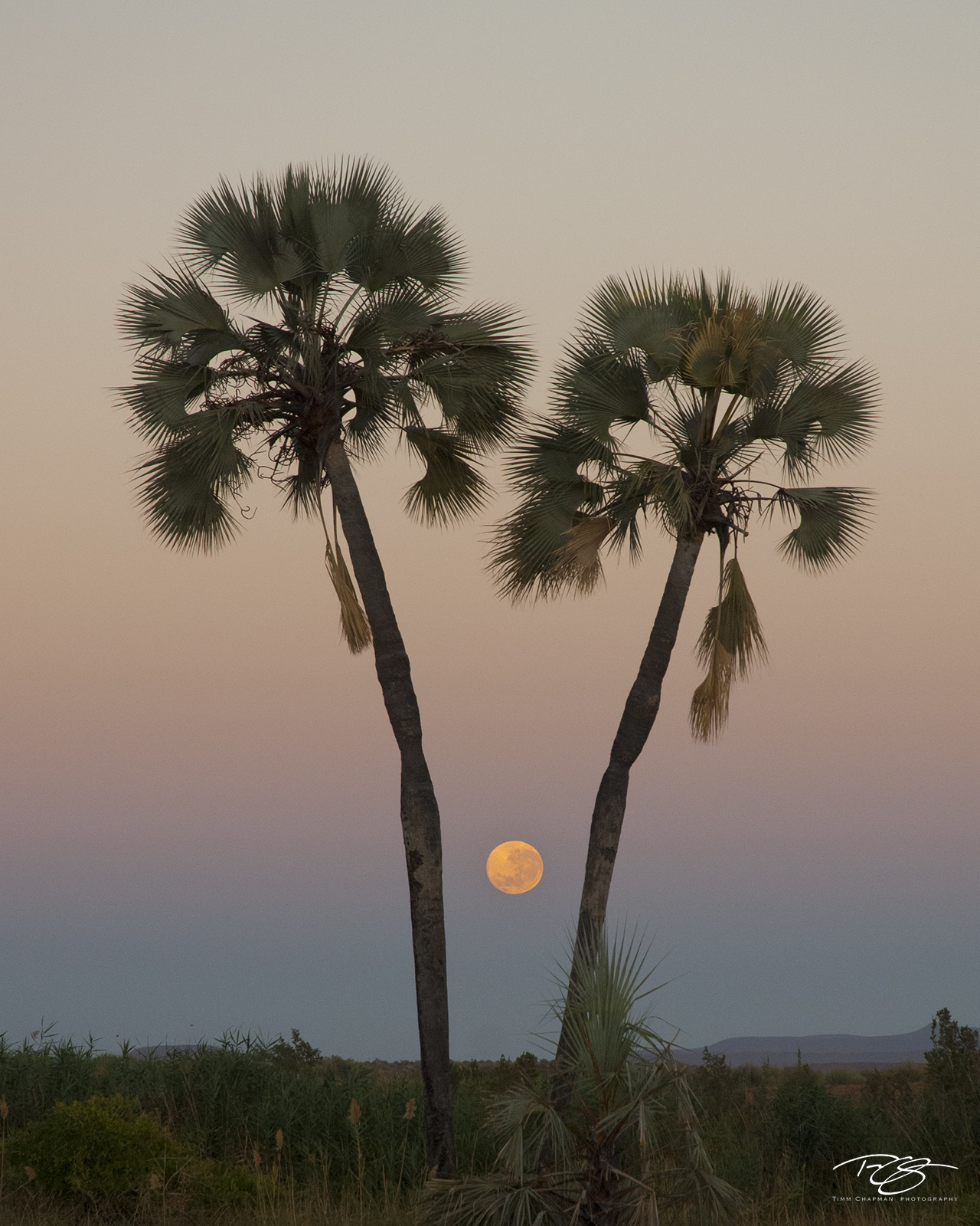 namibia, palmwag, palm trees, silhouette, sunset, twilight, predawn, namib desert, southwest africa, full moon, moon, pastel, photo