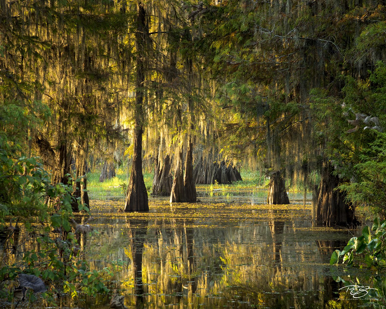 swamp, bayou, louisiana, dawn, early morning, quiet, reflection, bald cypress, tree, cypress, atchafalaya basin, lake martin, daybreak, morning, silhouette, swamp thing, gators, swamp people, photo