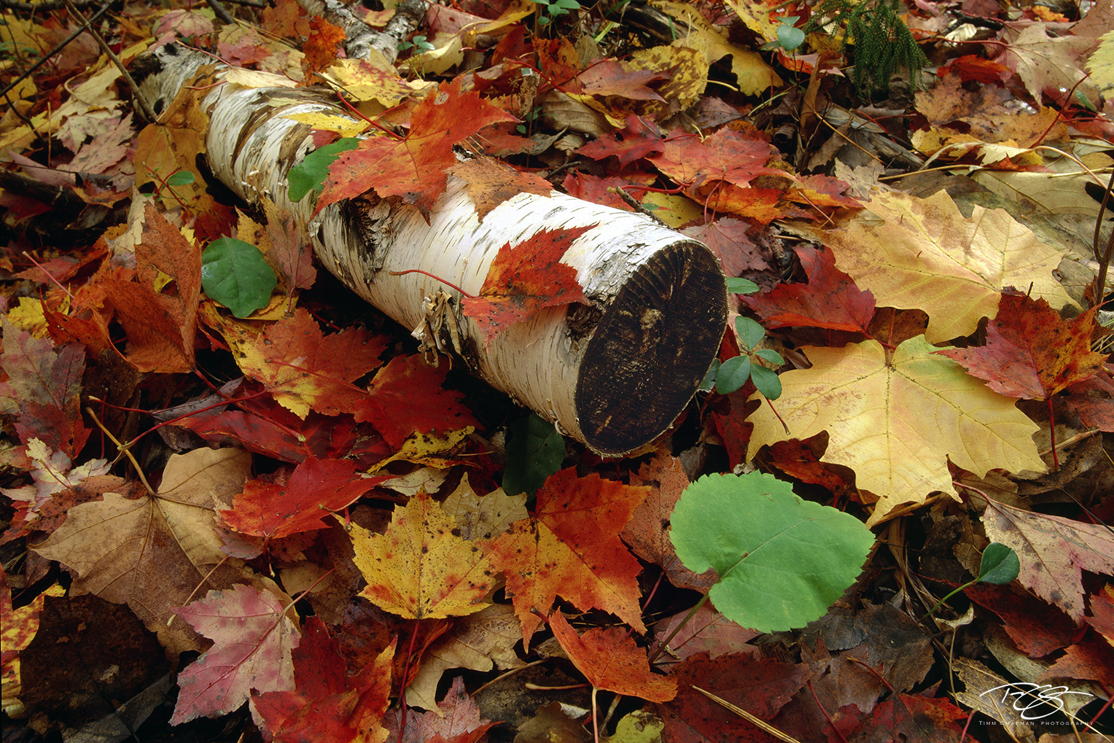 autumn leaves, fall colors, fall colours, autumn colours, maple leaves, birch bark, aspen, green leaves, yellow leaves, gold leaves, red leaves, orange leaves, oak leaves, maple, oak, forest floor, photo