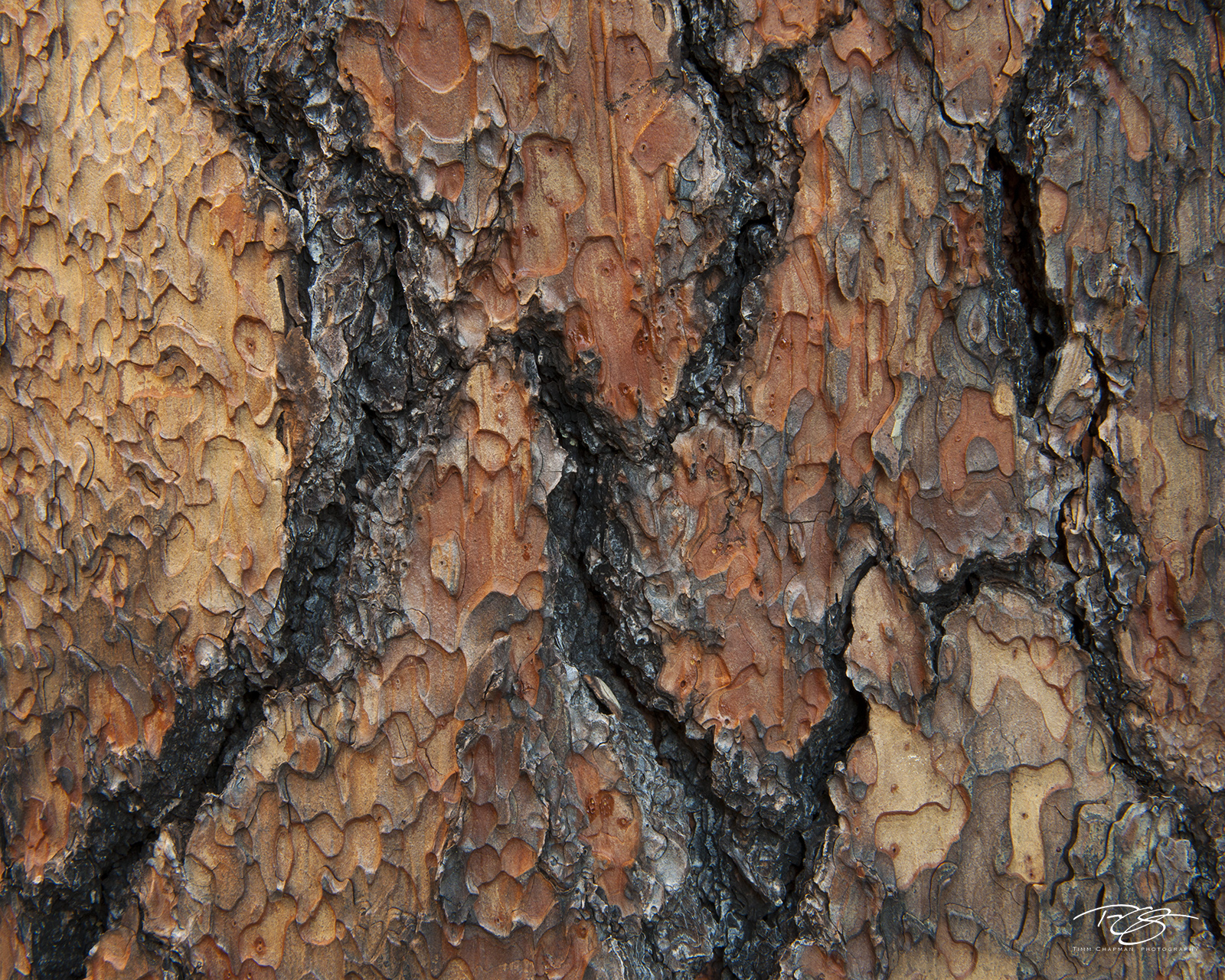 arizona, ponderosa pine, ponderosa, bark, abstract, tree, tree bark, pine tree, red, orange, beige, black, rugged, scales, photo
