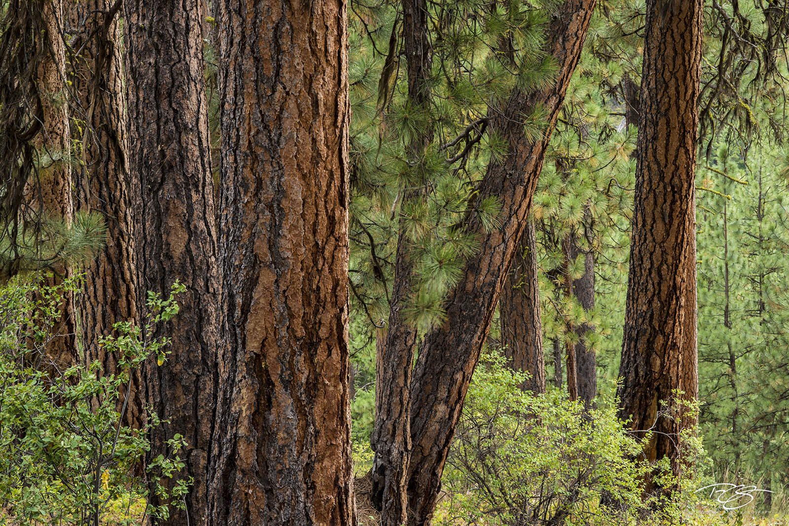 trees, forest, pines, evergreens, ponderosa pine, ponderosas bark, green, red, brown, earth tone, idaho, arizona, colorado