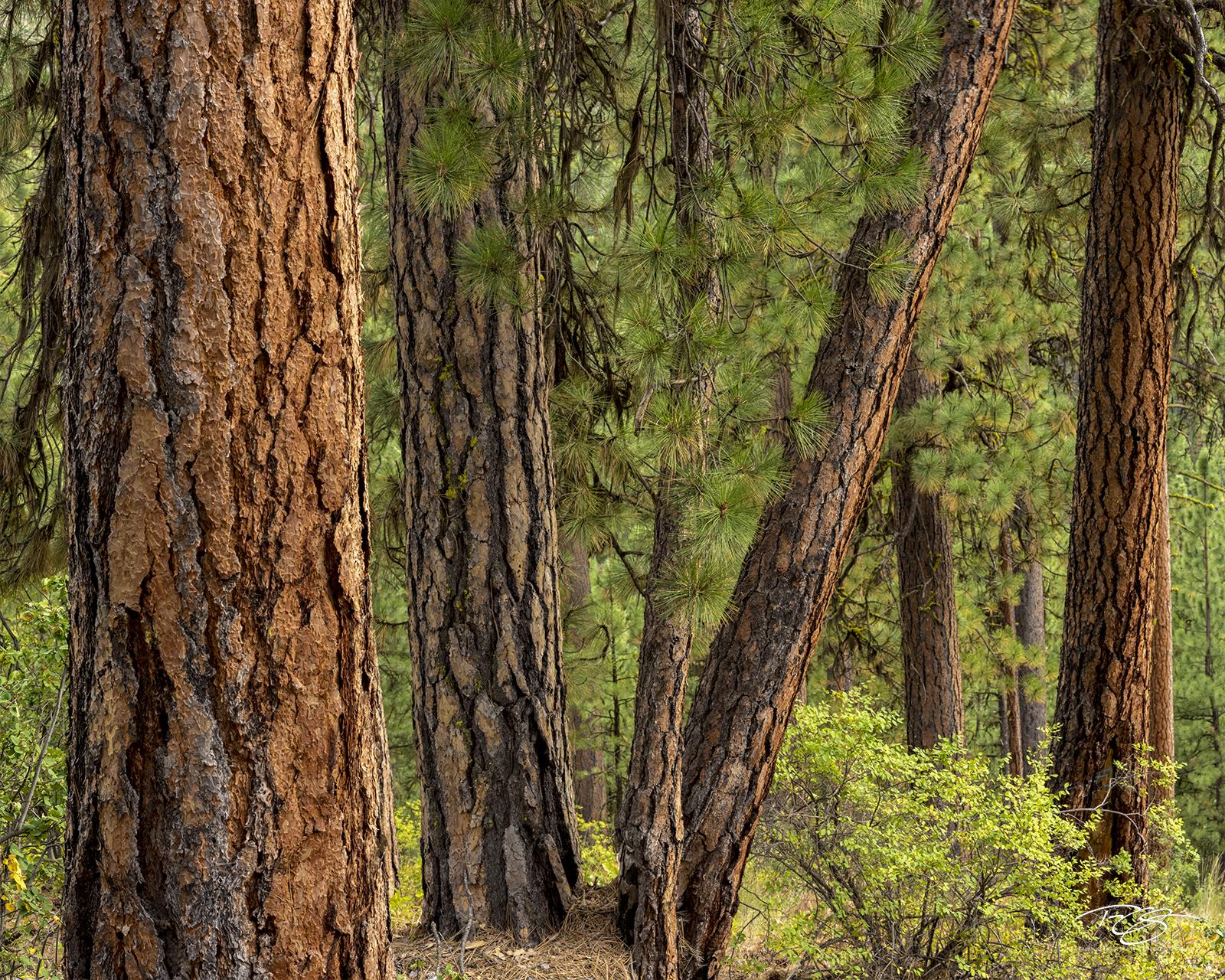 trees, forest, pines, evergreens, ponderosa pine, ponderosas bark, green, red, brown, earth tone, idaho, arizona, colorado, photo