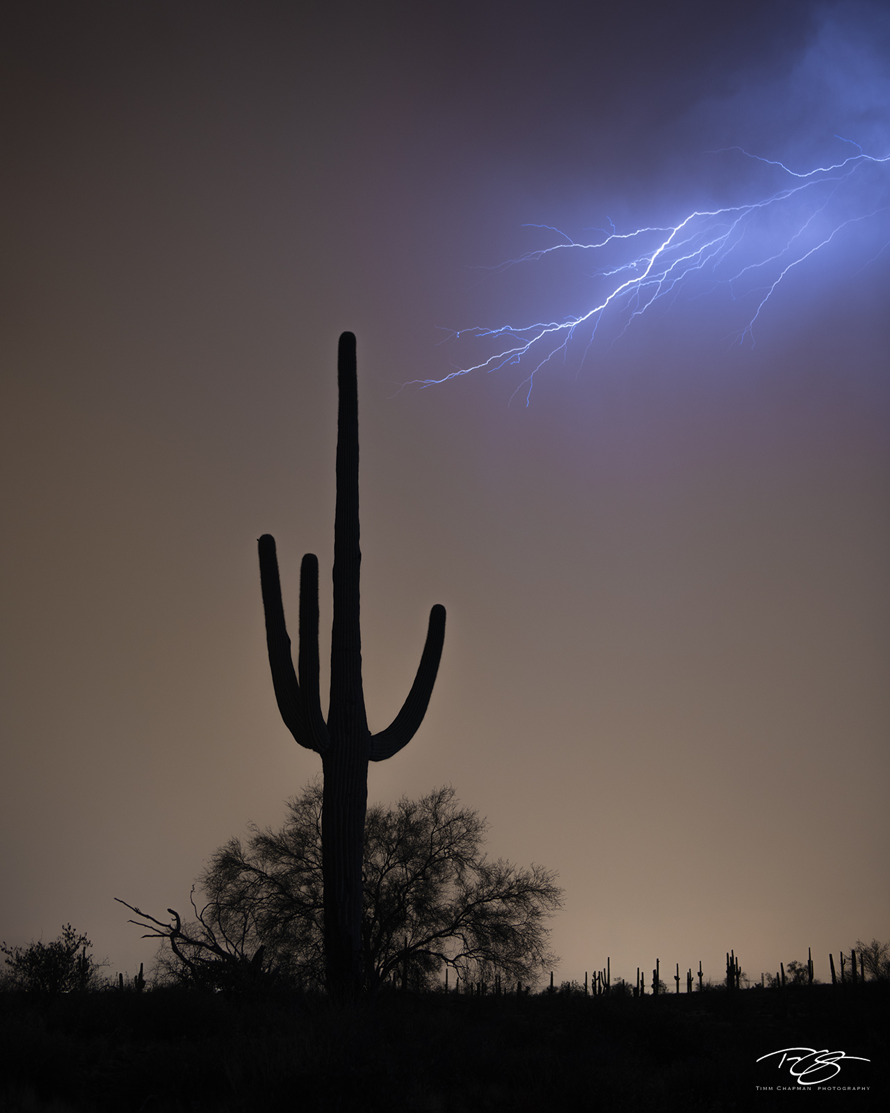 A strike of lightning reaches toward a giant saguaro cacti during a summer monsoon