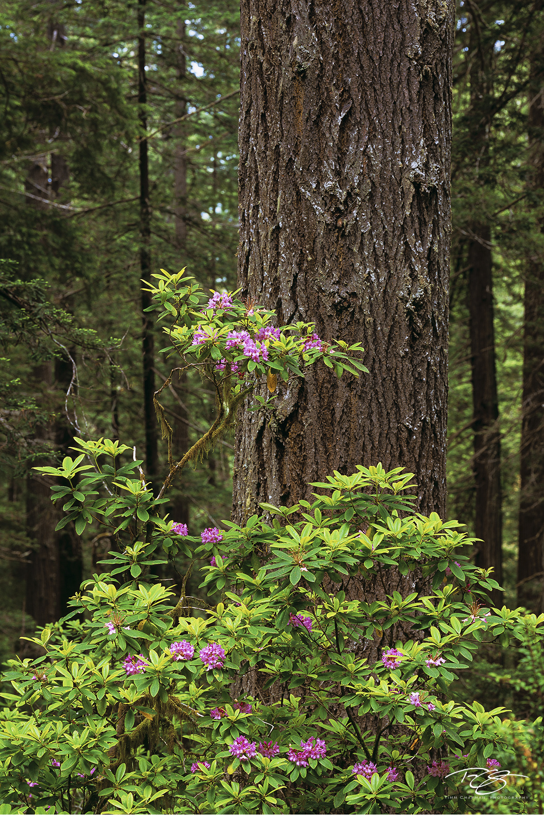 redwoods national park, redwoods state park, jedediah smith redwoods state park, del norte coast redwoods state park, prairie creek redwoods state park, rhododendron, blooming, in bloom, dawn redwood,, photo