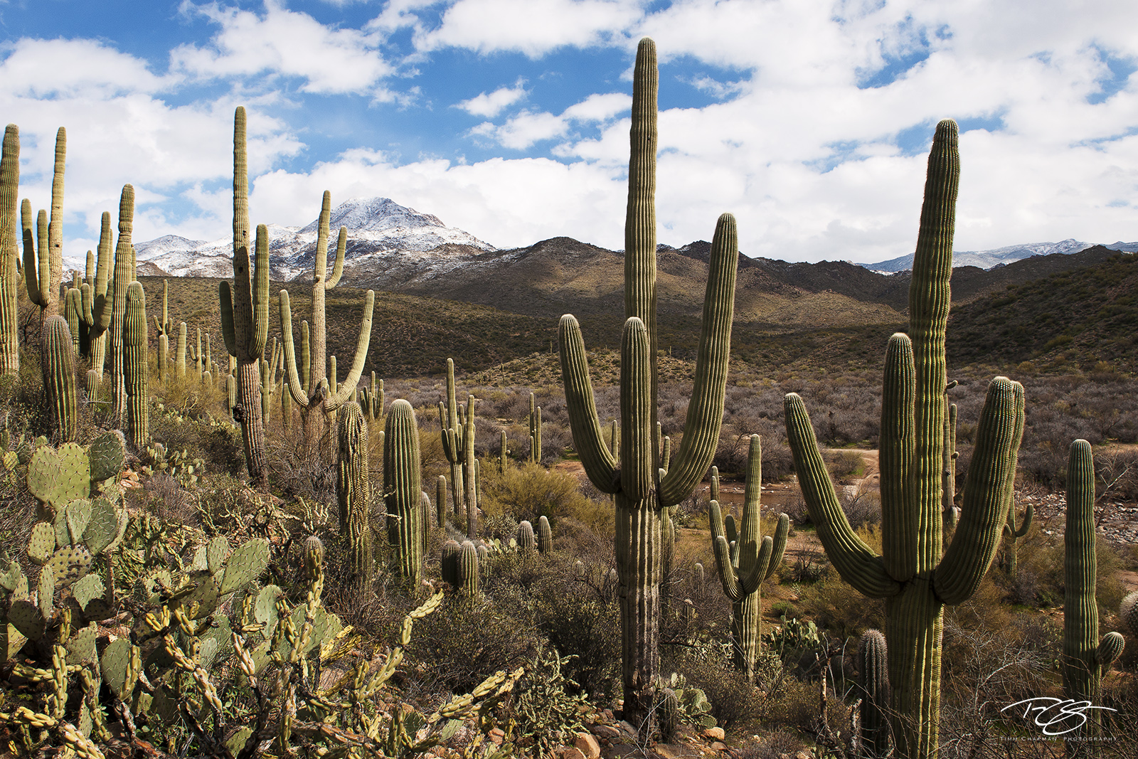 A stand of saguaros congregate on the hillside in the 4 peaks wilderness of central Arizon