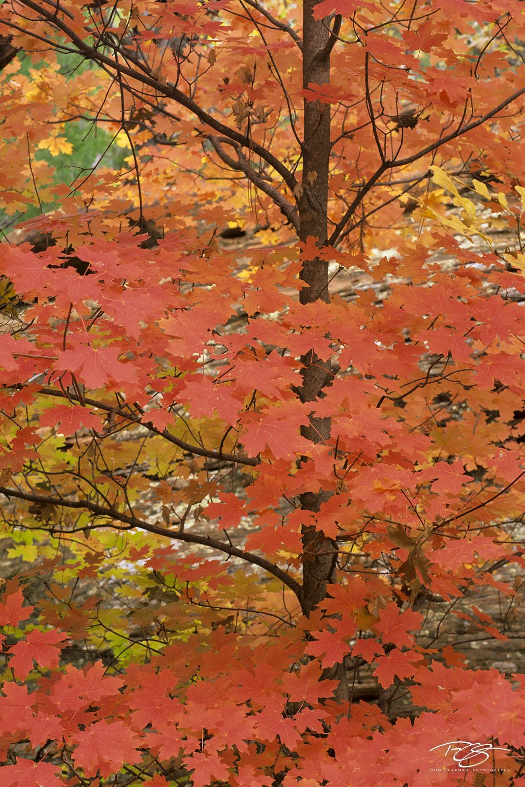 arizona, autumn, autumn color, autumn colour, fall color, fall colour, leaves, salmon, pink, red, bigtooth maple, maple tree, tree, arizona, hospital canyon, west fork, oak creek, sedona, red rocks, photo
