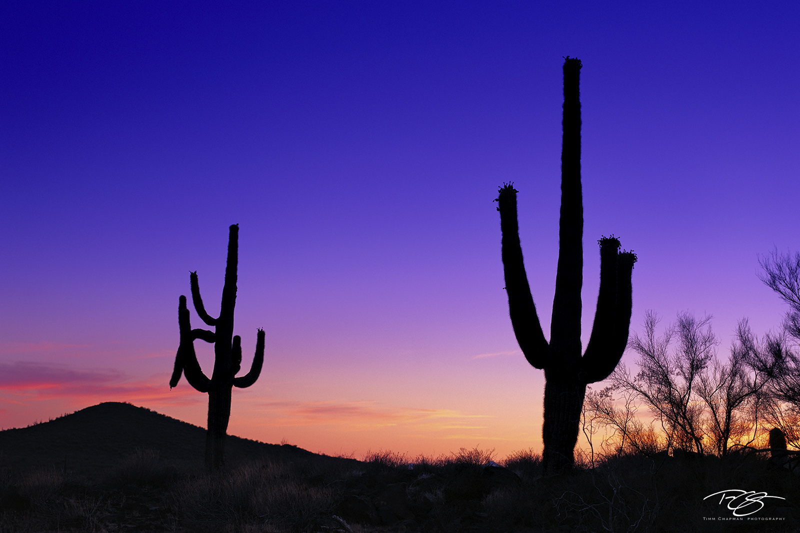 Giant Saguaro cacti stand vigil as night approaches