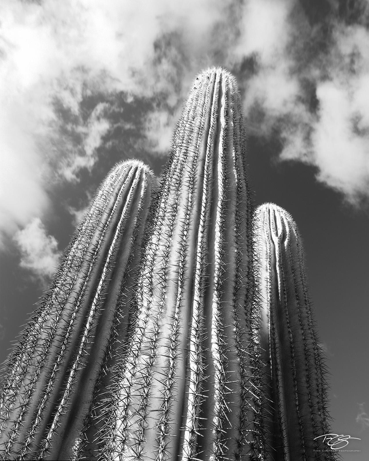Giant Saguaro Cacti reach for the heavens