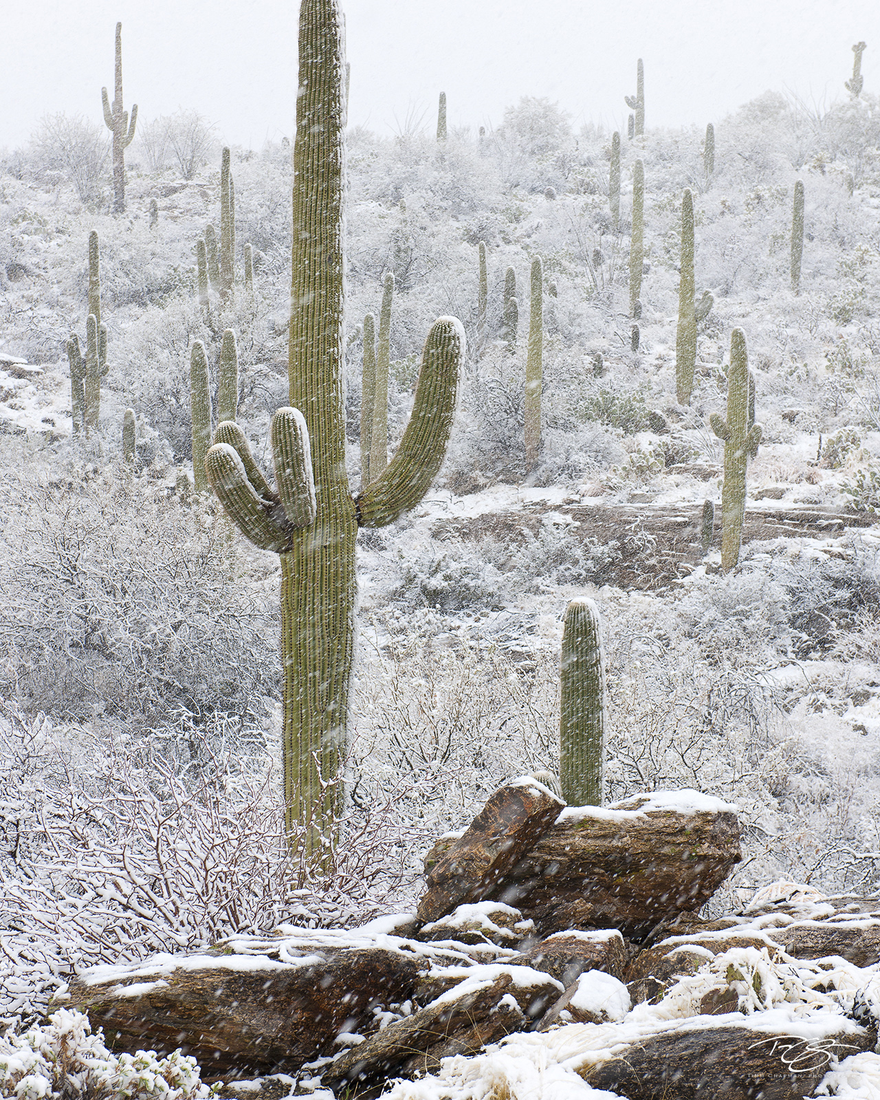 A rare snowfall blankets a forest of Saguaros in the Sonoran Desert