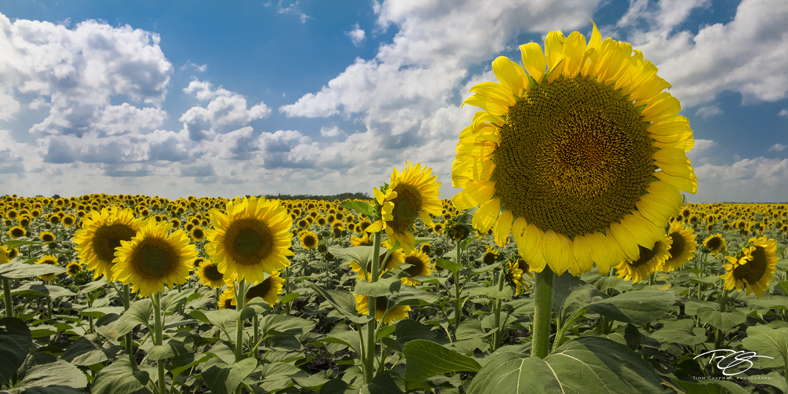 sunflower, sunflowers. field of sunflowers, panorama, north dakota, south dakota, clouds, yellow, blue, green, sunny side up, photo