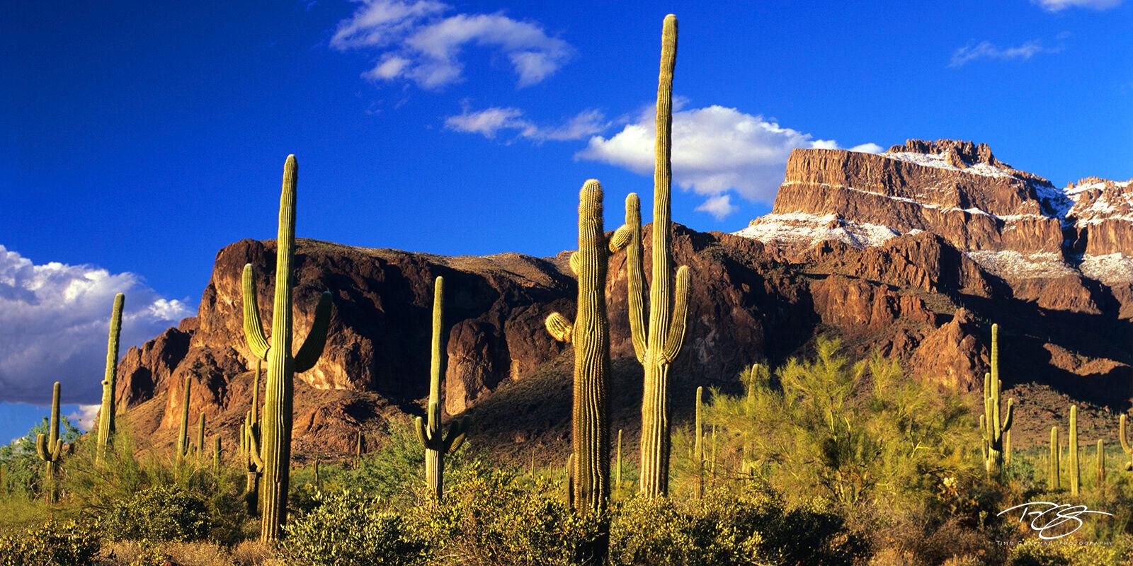 Arizona, Superstition Mountain, Superstition snows, snow on Superstition Mountain, cactus, saguaro, superstition wildersness, snow in the desert, golden light, snow, saguaro cactus, cacti, panorama, photo