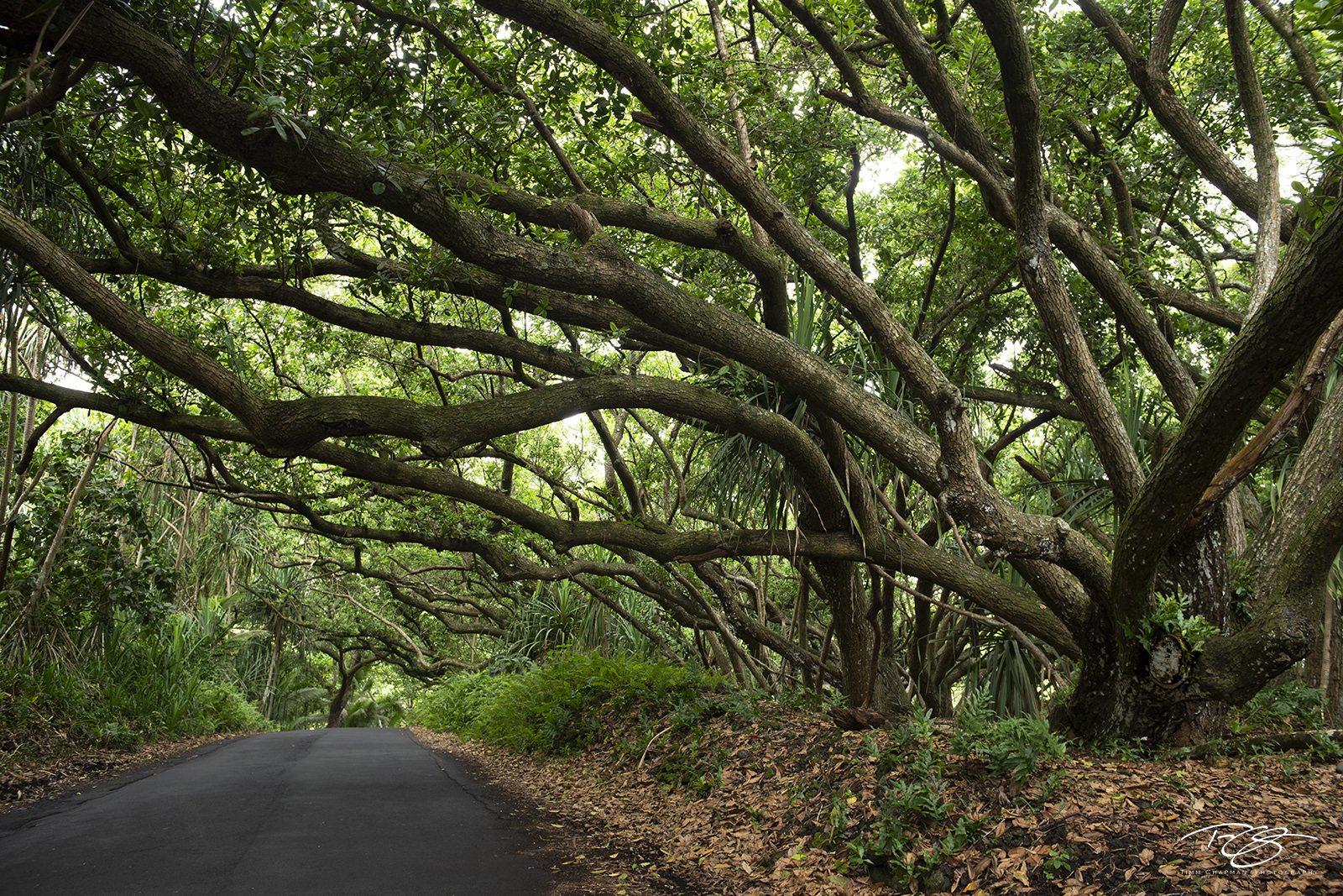 road, trail, passage, track, trees, tree lined canopy, tentacles, pathway, path, passing through, hawaii, photo