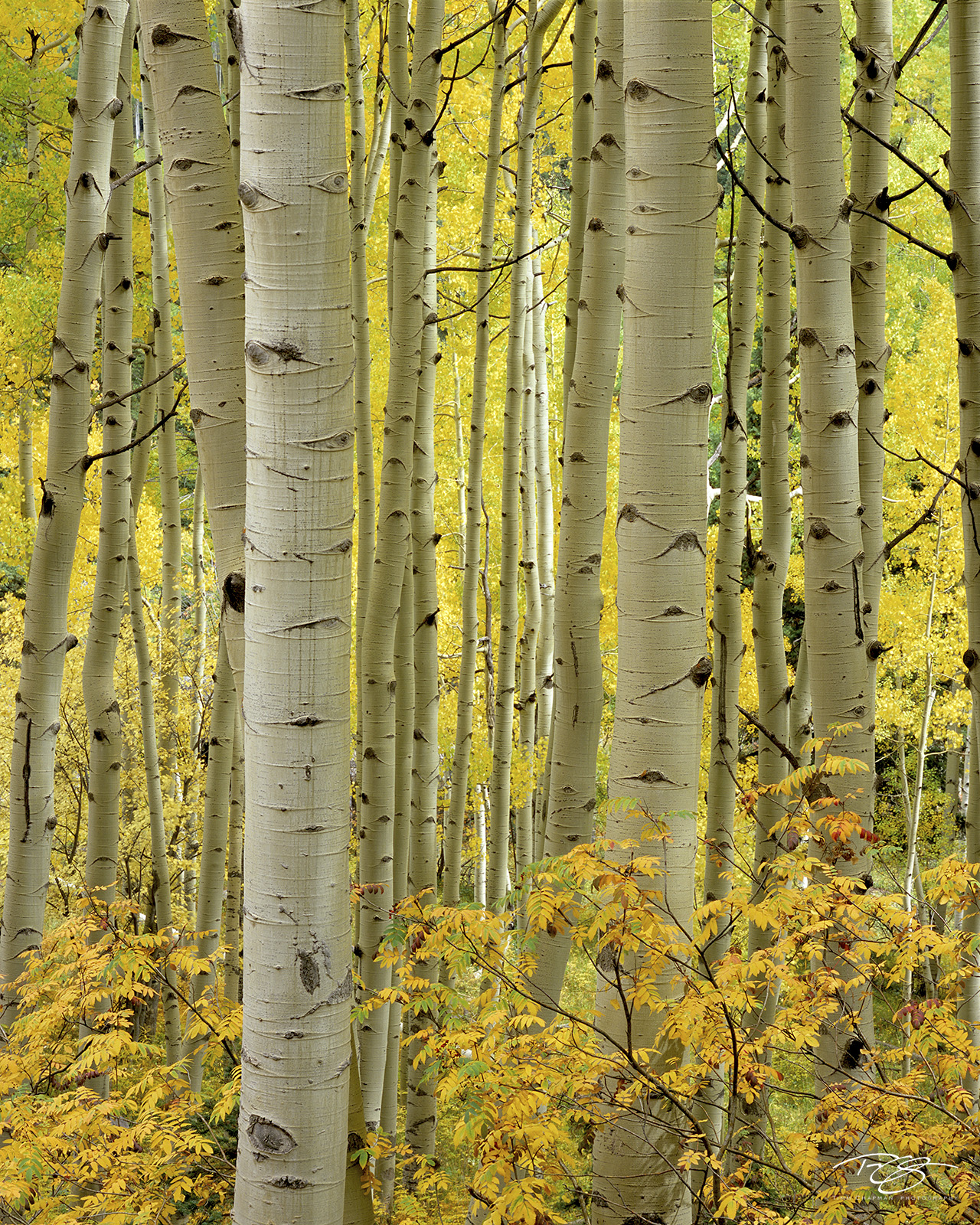 Colorado, aspen, autumn, fallen leaves, yellow leaves, golden canopy, autumn peak, leaves at their peak, sumac, photo