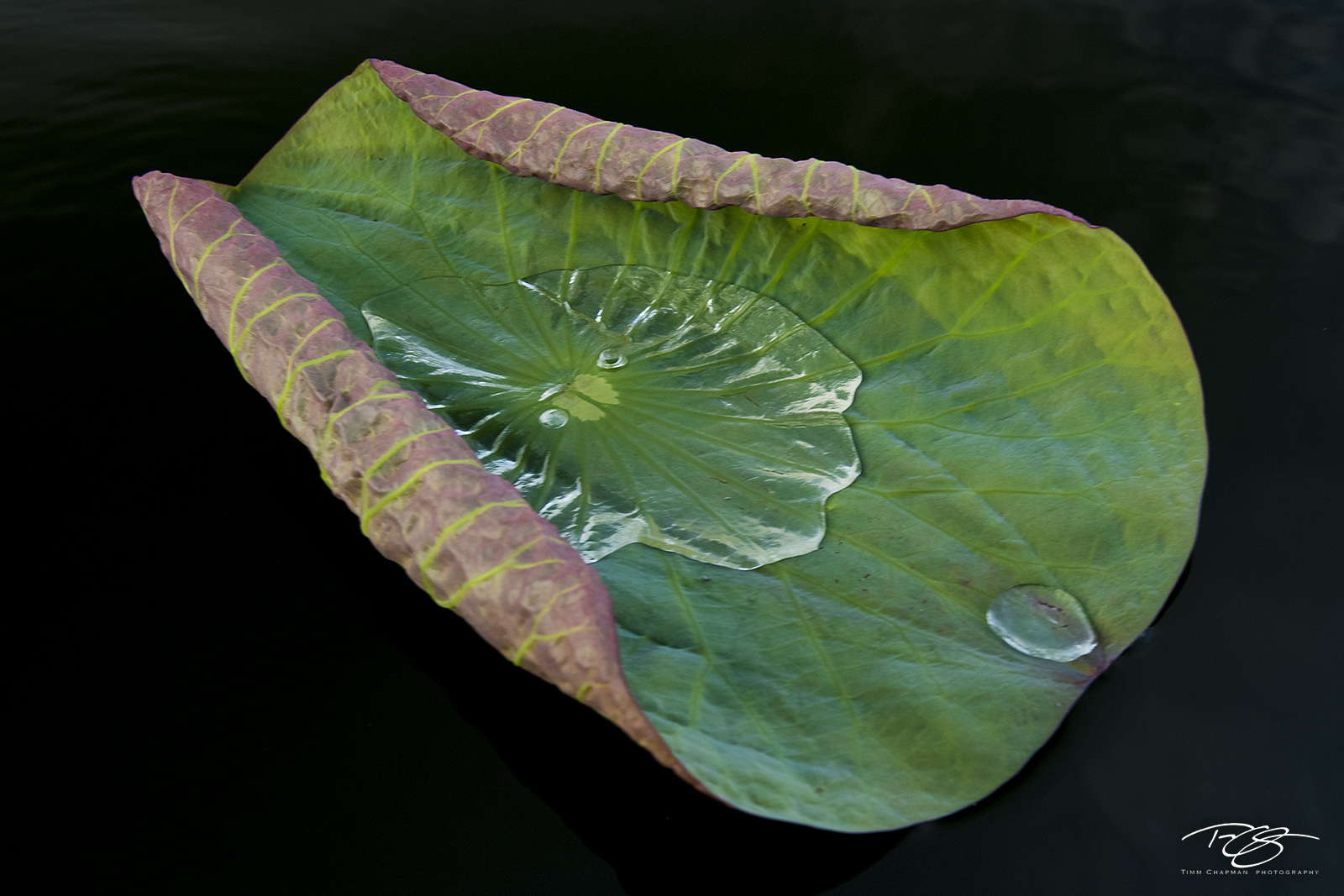 swamp, bayou, louisiana, dawn, water lily, atchafalaya basin, leaf, water, green, water droplet, lily, photo